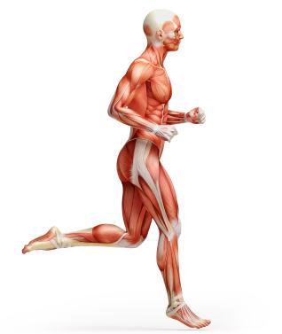 anatomi-muskleriStock