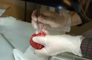 Prostatakjertel forberedes til oppbevaring. (Foto: Helena Bertilsson)