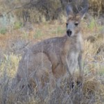 A wallaby came by during our walk along Todd River at Alice Springs