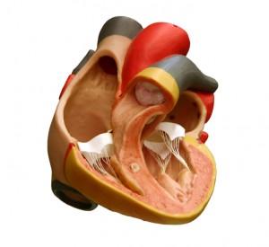 Anatomisk modell av hjertet. iStockphoto
