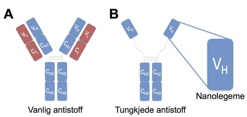 figur som viser sammensetning av antistoffer