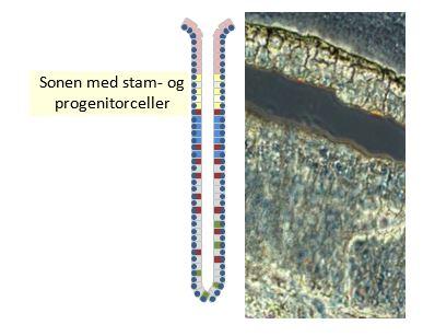 Skjematisk skisse av en kjertel fra mageslimhinnen markert med sonen der stam- og progenitorcellene befinner seg, og vevssnittet etter at tilsvarende sone er skjært ut med laser mikrodisseksjon (Foto: Pål Vange)