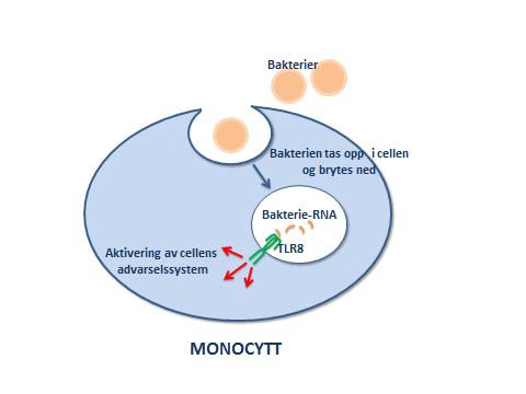 Monocytt