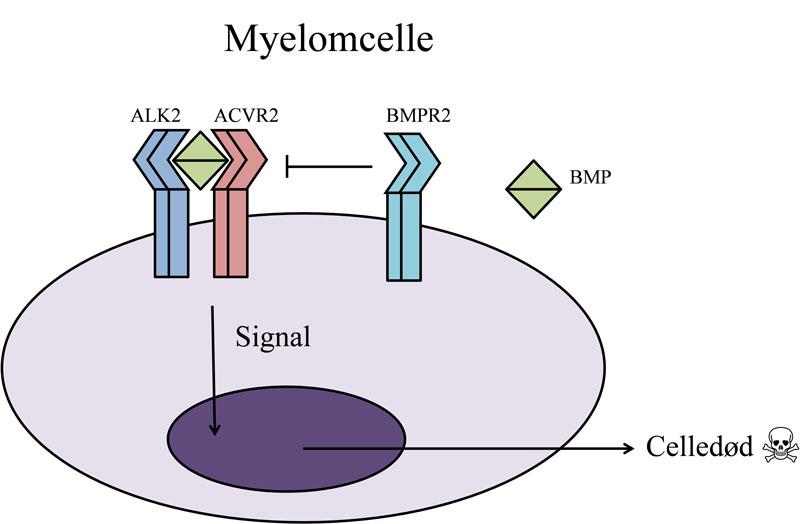 Figur: Myelomcelle. Signalmolekyl, for eksempel BMP, bindes til reseptorer på overflaten av myelomcellen og sender signal som fører til celledød.