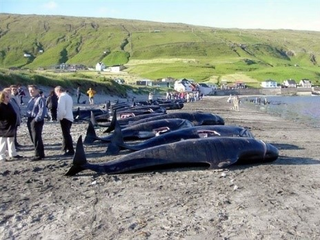 The pilot whale is an important part of Faroese heritage and culture.