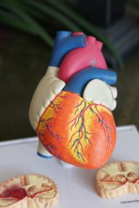 Anatomical model of heart