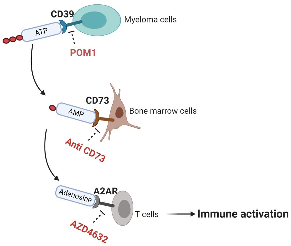 Figuren viser immunceller (T celler) som aktiveres til å drepe kreftceller
